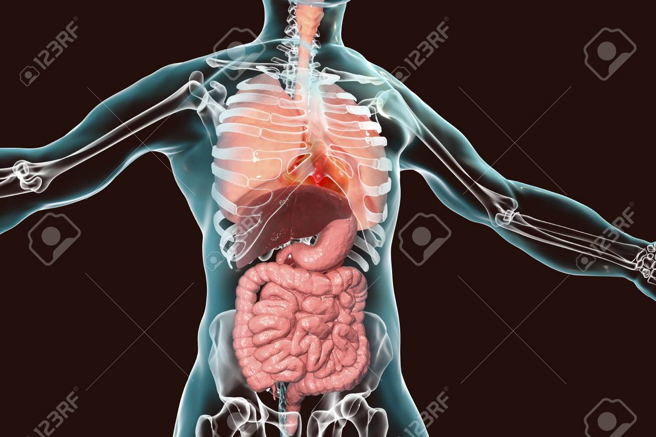 Human Body Anatomy Respiratory And Digestive System 3d