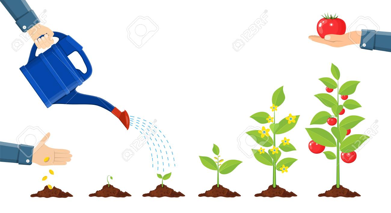Growth of plant in pot, from sprout to vegetable. - 94741609