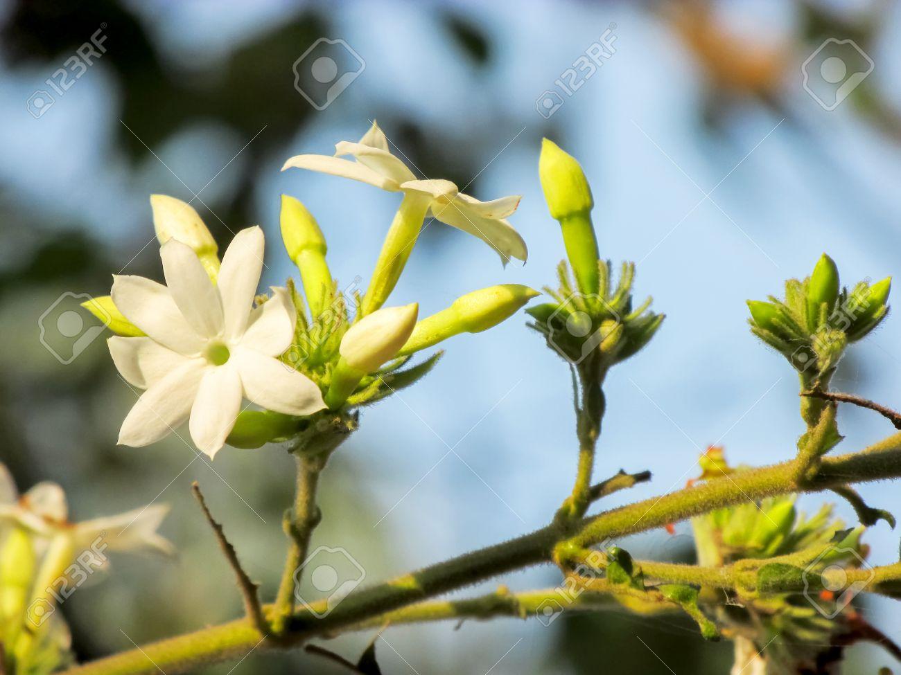 Sweet smelling white star jasmin flower stock photo picture and stock photo sweet smelling white star jasmin flower mightylinksfo