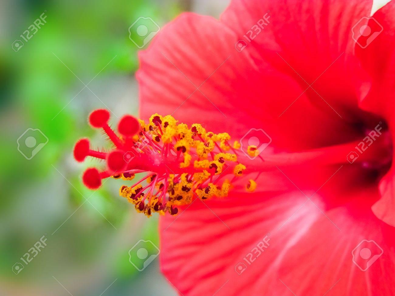 Pollens And Stigma Of Hibiscus Flowermacro Stock Photo Picture