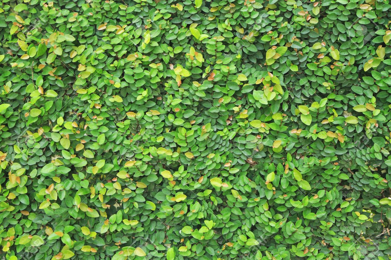 Different Types Of Climbing Plants Part - 20: Stock Photo - Wall Covered With Green Climbing Plants