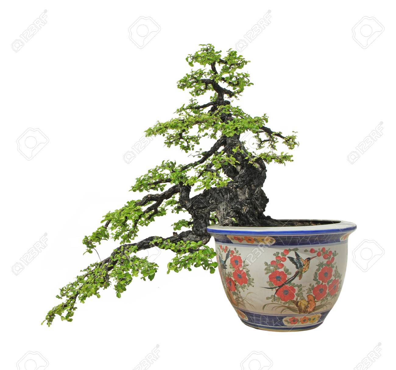 Banyan Or Ficus Bonsai Tree Isolated On White Background Stock Photo Picture And Royalty Free Image Image 30112862