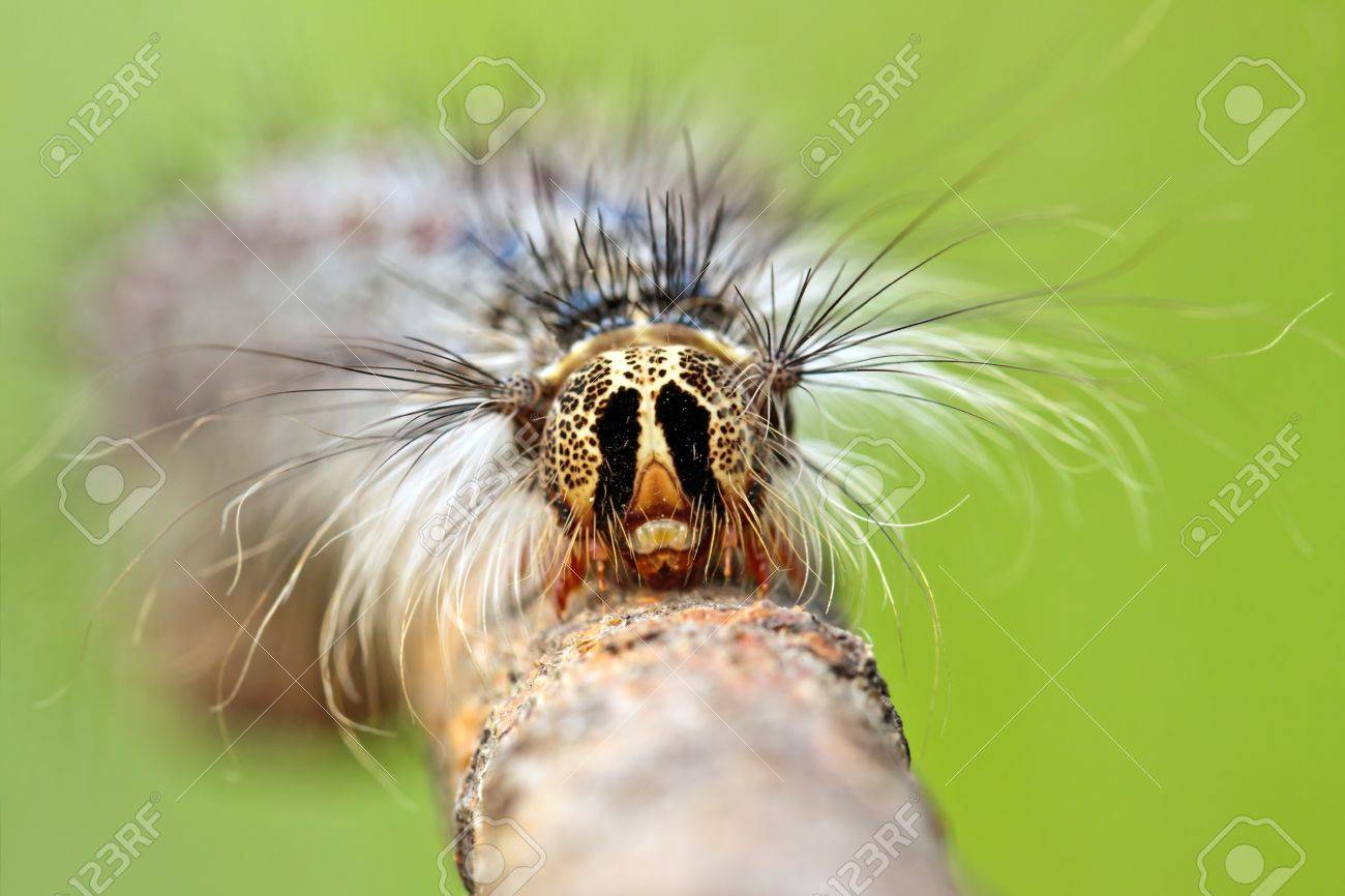 Close-up of caterpillar's head with antennae on lurry background