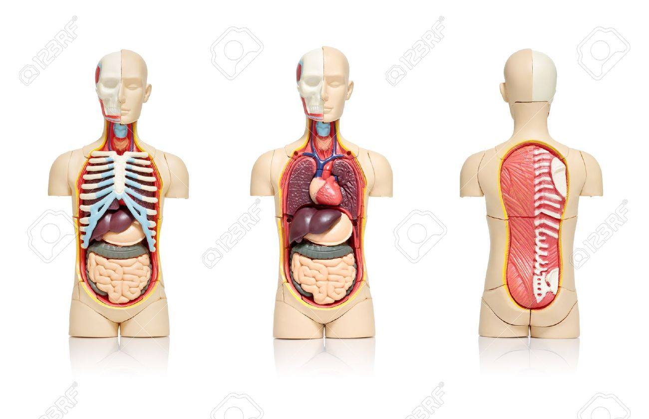 Three Views Of A Model Of Human Body Showing Internal Organs Stock