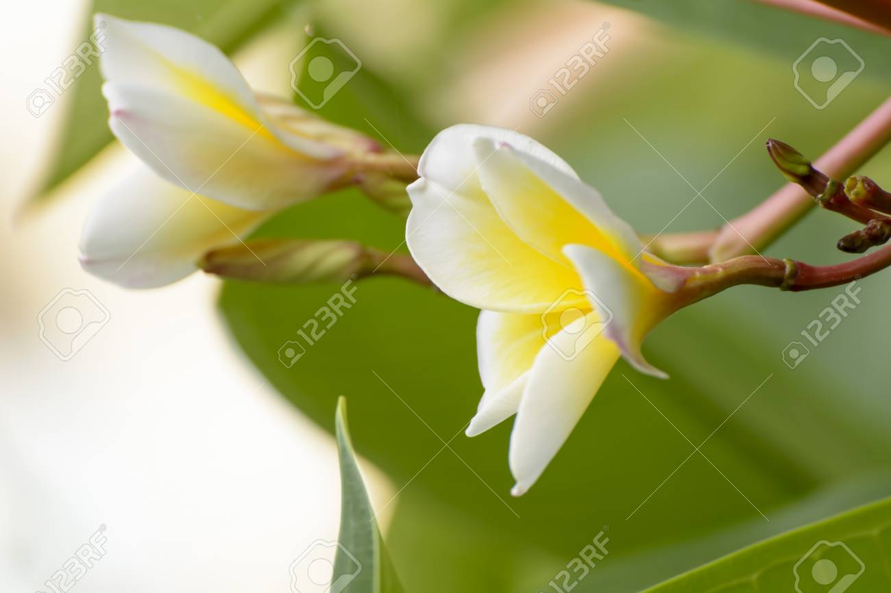 Plumeria Flowers Are So Beautiful That Popular In Thailand Stock