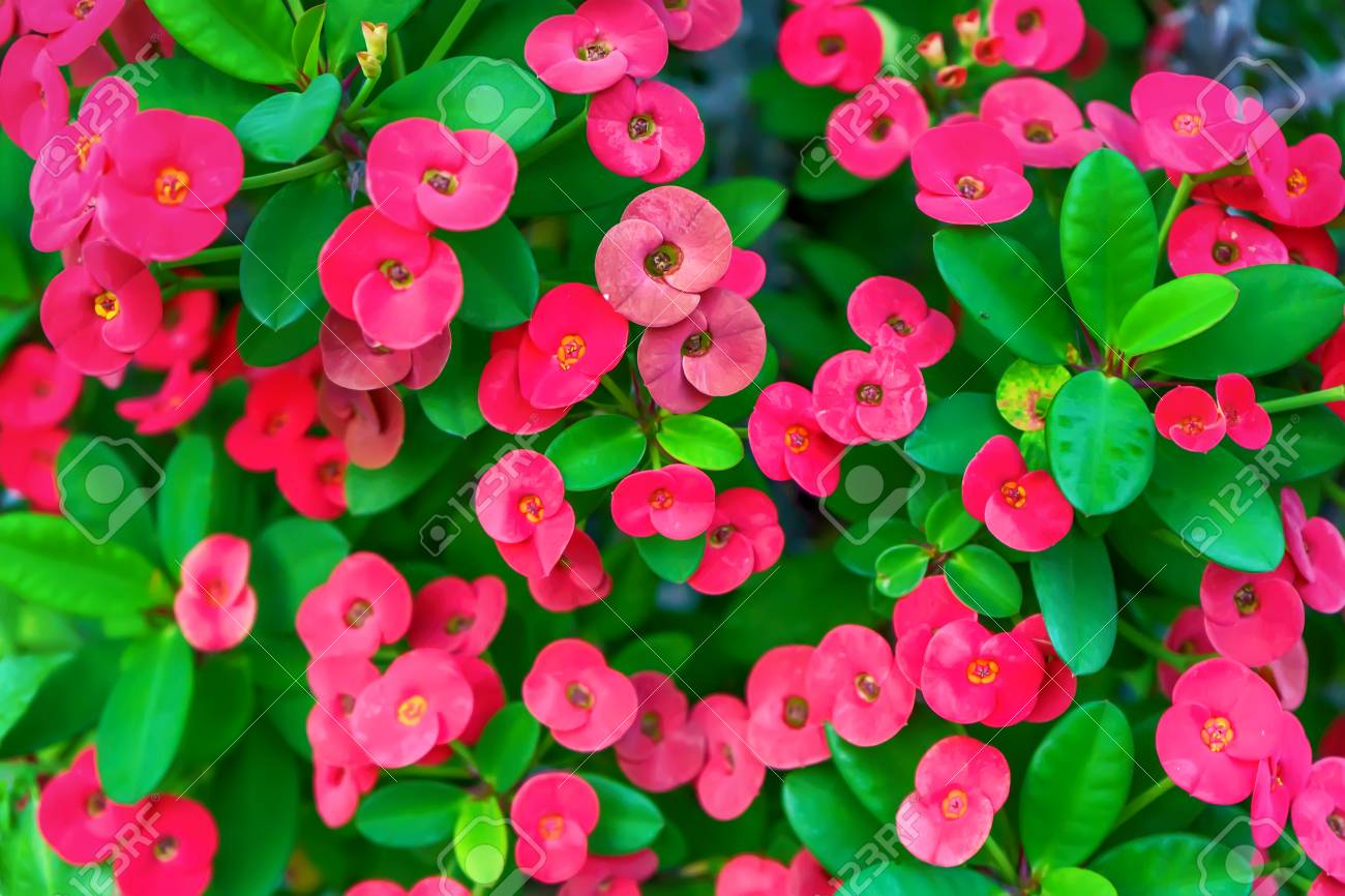 Euphorbia Milii Or Crown Of Thorns Or Christ Plant Or Christ