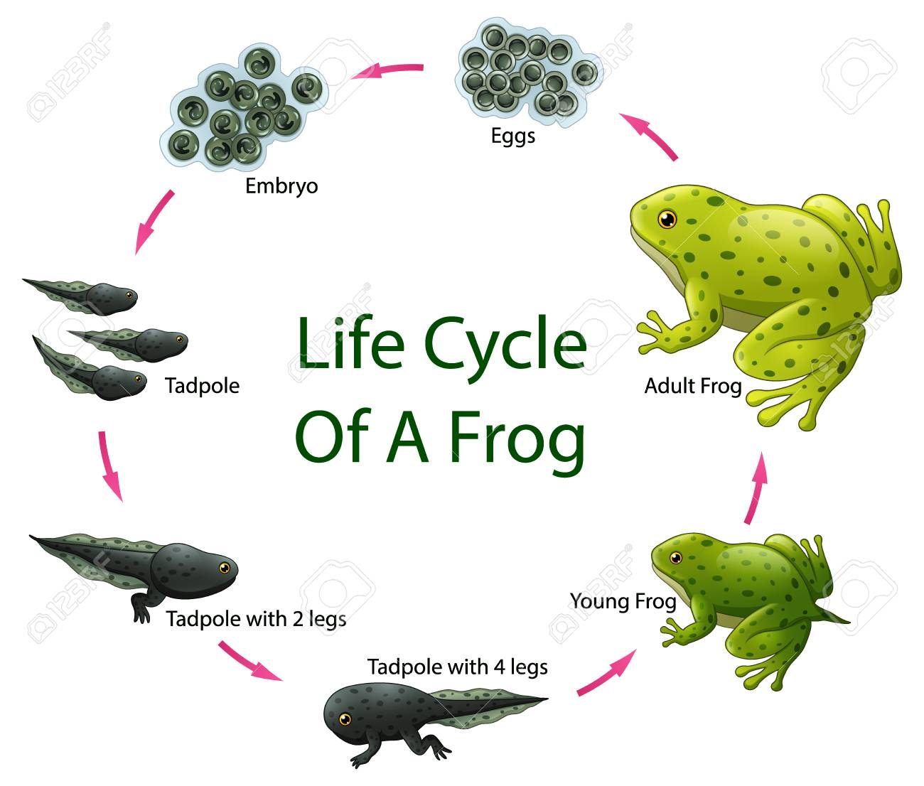 Image result for frog life cycle