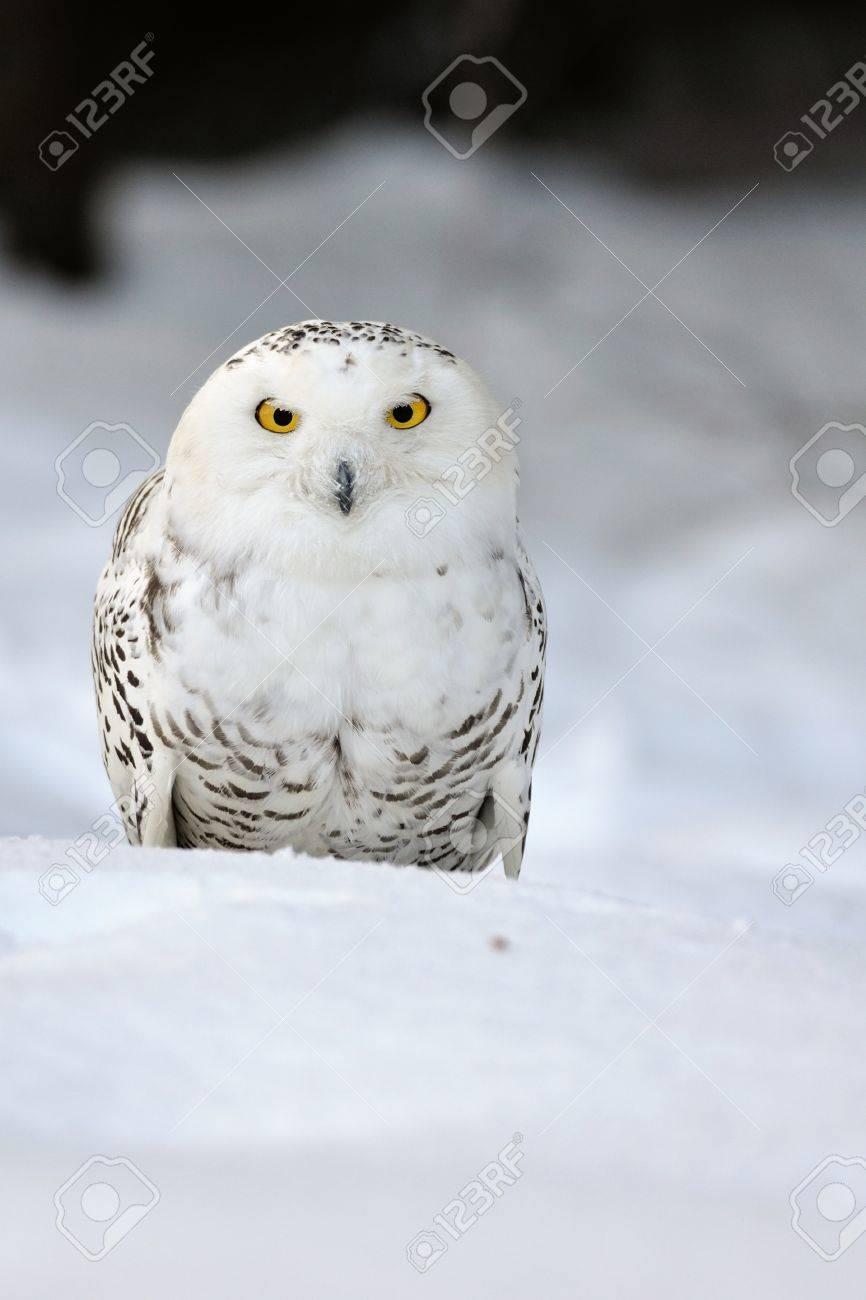 Snowy owl sitting on the snow Stock Photo - 12783777