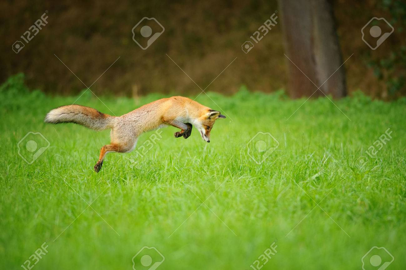 Red fox on hunt when mousing in grass field during autumn with forrest in background Banque d'images - 46981528