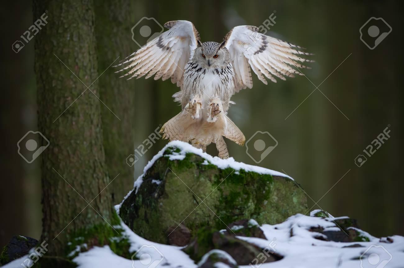 Landing western siberian eagle owl on snowy rock - 120713158
