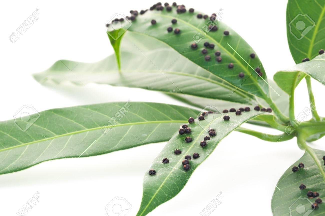 Ciérrese Encima De La Hoja Verde Enferma Del Mango Del Insecto O Del ...