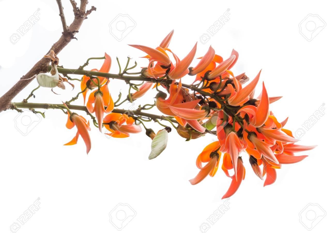 Butea monosperma is a species of Butea native to tropical and
