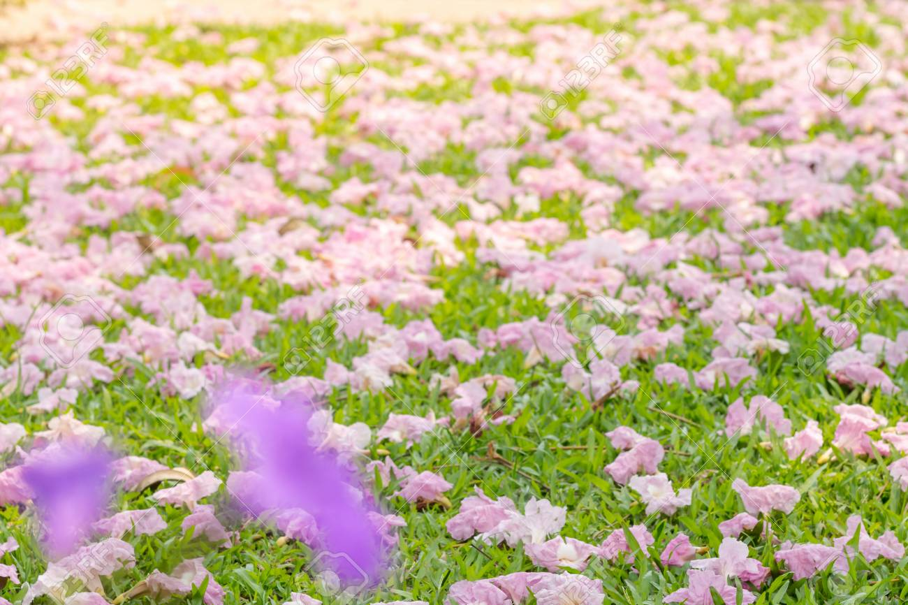Pink Flowers Tabebuia Rosea Blossom Wilted In The Green Grass Stock