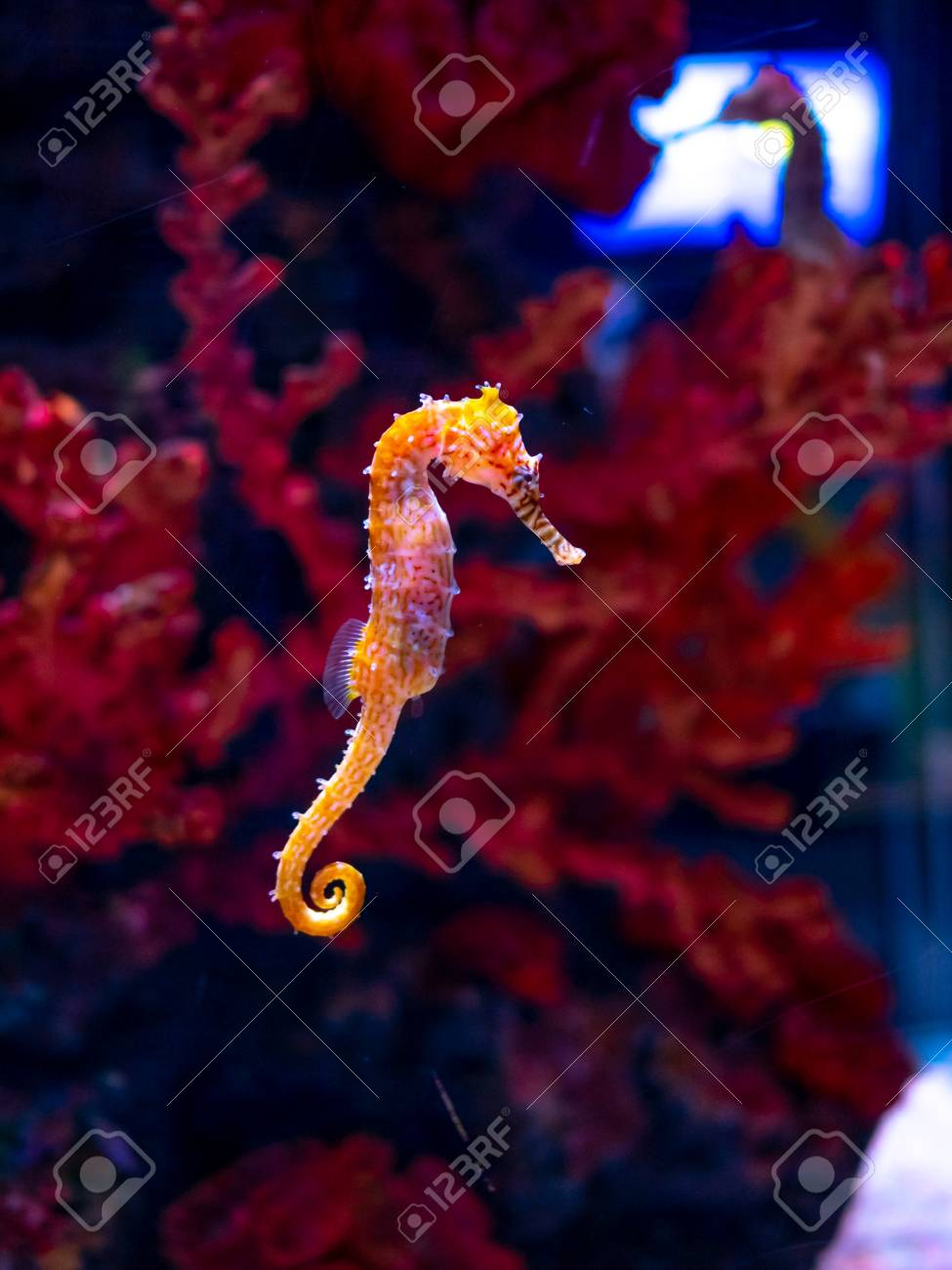 Sea horse in aquarium. These seahorses live in the warm seas around Indonesia, Philippines and Malaysia. They are usually yellow and have an unusual black and white striped nose. - 118817555