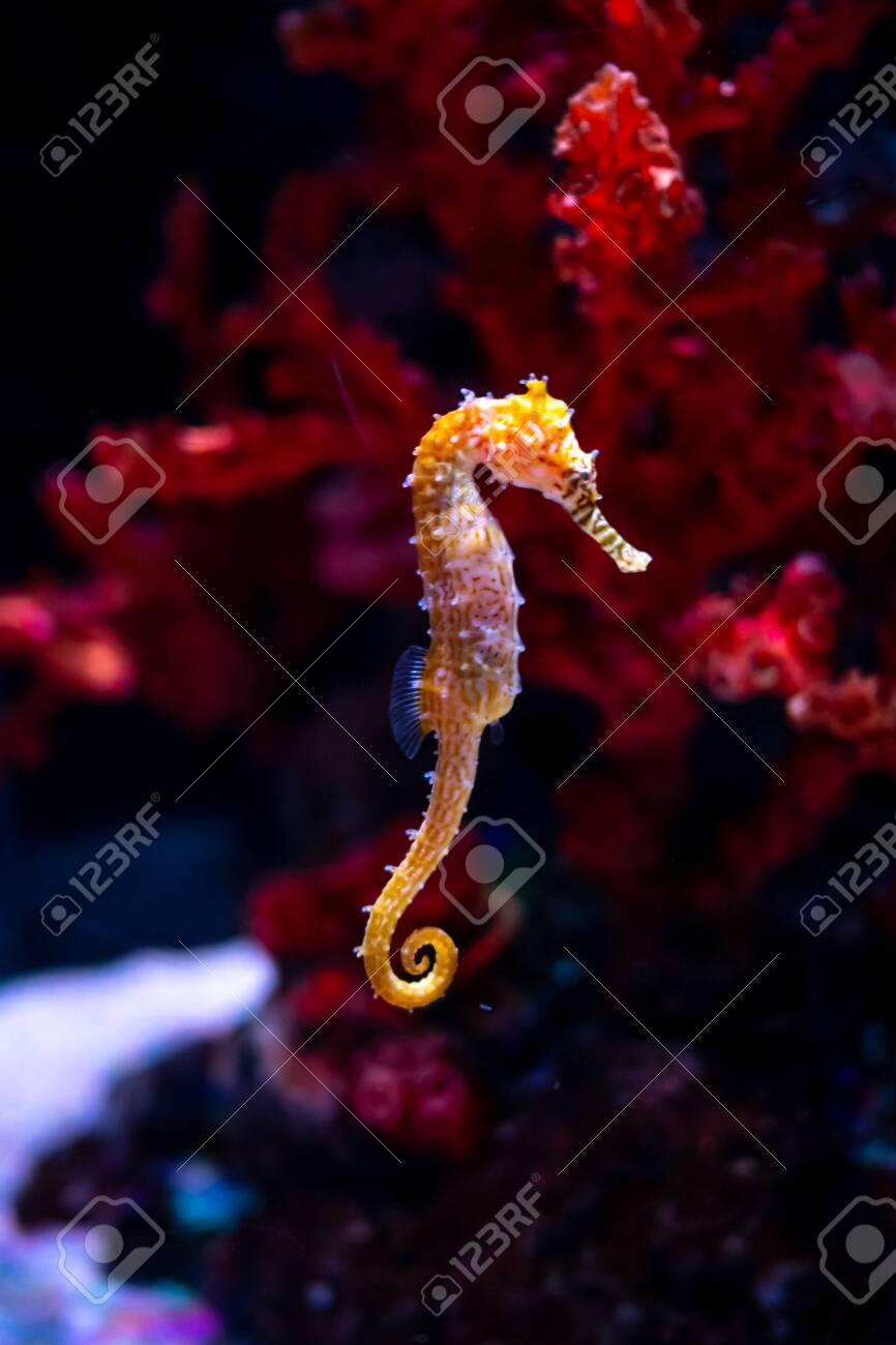 Sea horse in aquarium. These seahorses live in the warm seas around Indonesia, Philippines and Malaysia. They are usually yellow and have an unusual black and white striped nose. - 122667078