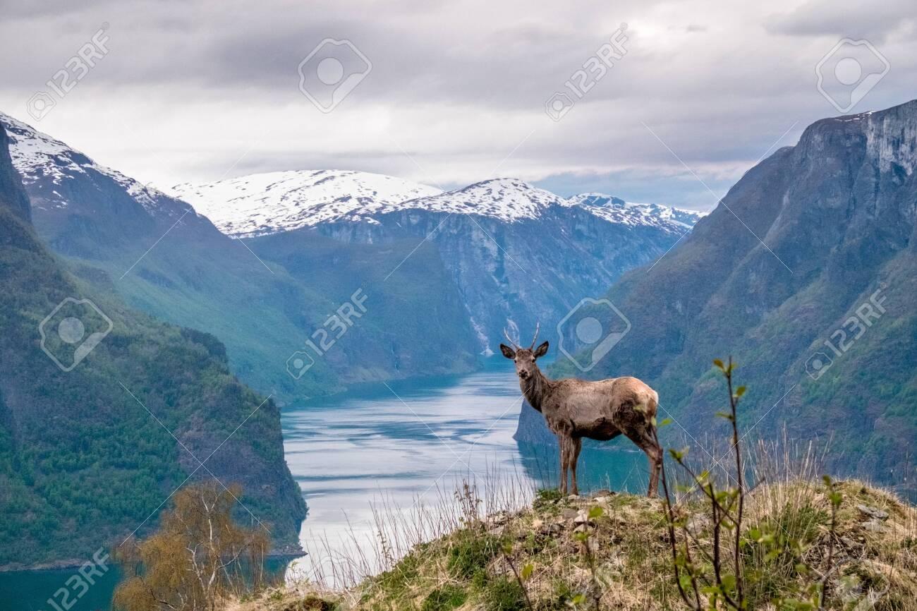 Beautiful shot of a deer in norway landscape - 135812470