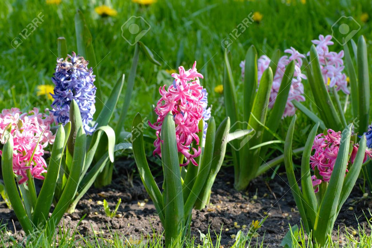 Fresh Early Spring Purple And Pink Hyacinth Bulbs Grown In Land