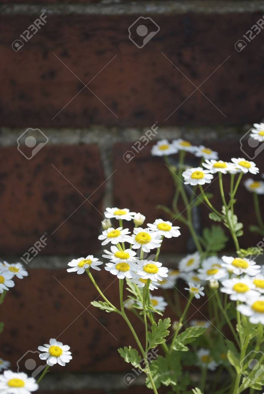 A royalty free stock image of a group of large daisy like flowers a royalty free stock image of a group of large daisy like flowers against a brick izmirmasajfo