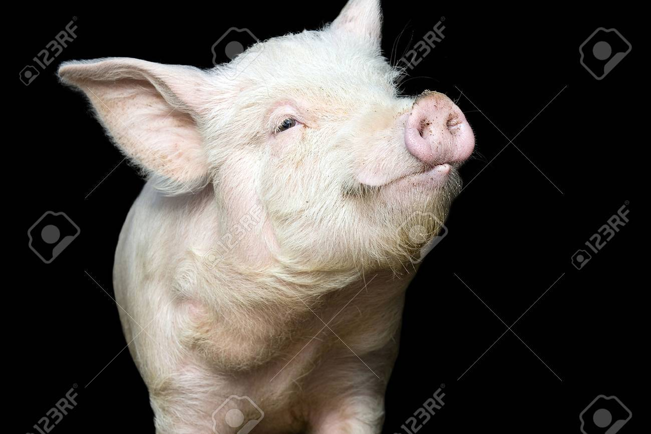 Portrait of a cute pig, on black background Stock Photo - 55862521