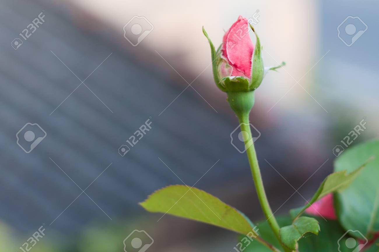 A pink rose isolated. Sepulveda, Segovia (Spain) Stock Photo - 14948810