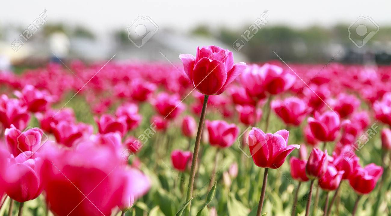 Glorious array of pink tulips in the flower fields of holland glorious array of pink tulips in the flower fields of holland stock photo 37384911 mightylinksfo