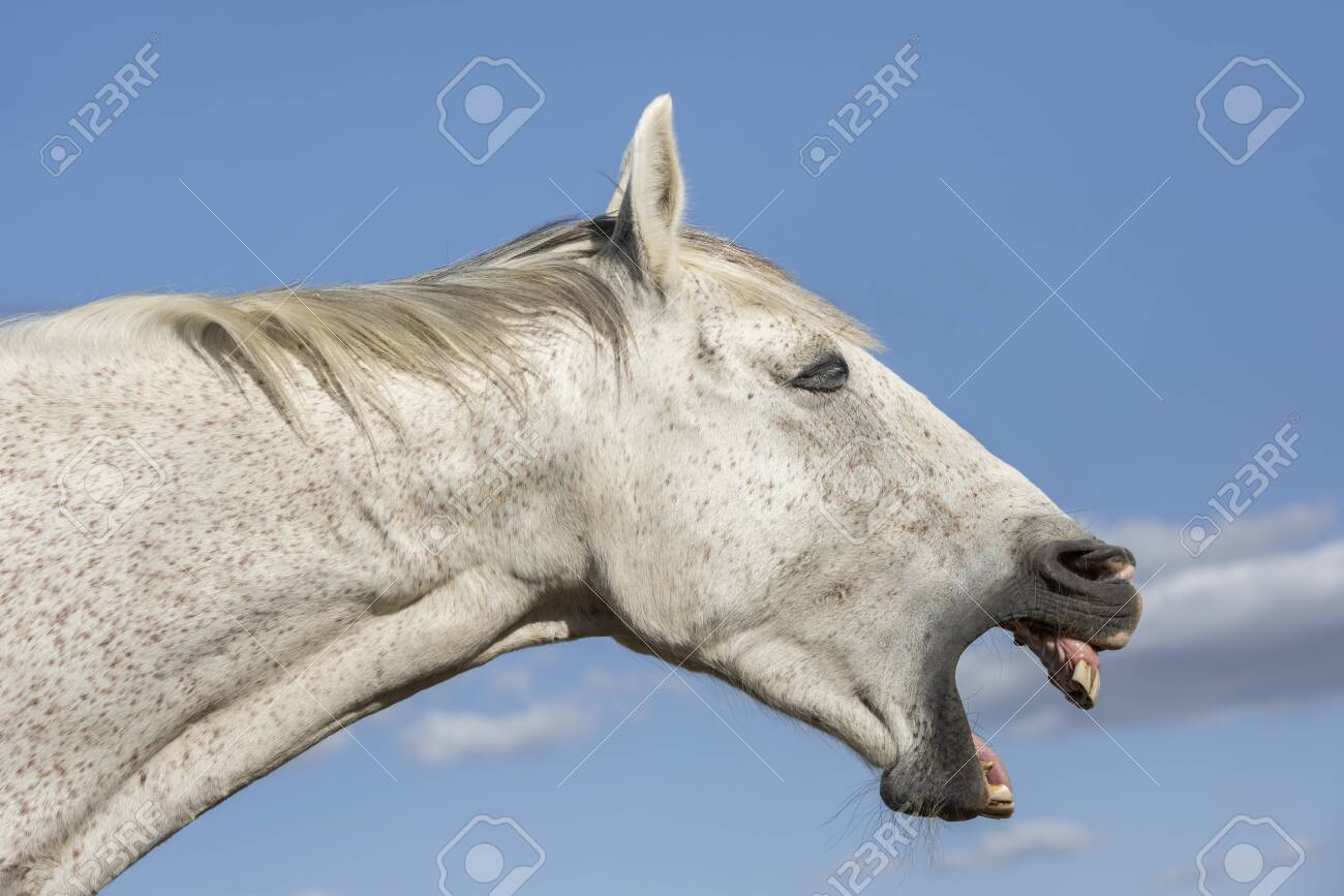 Portrait Of A Funny Grey Horse Showing The Teeth Horizontal Stock Photo Picture And Royalty Free Image Image 128001757