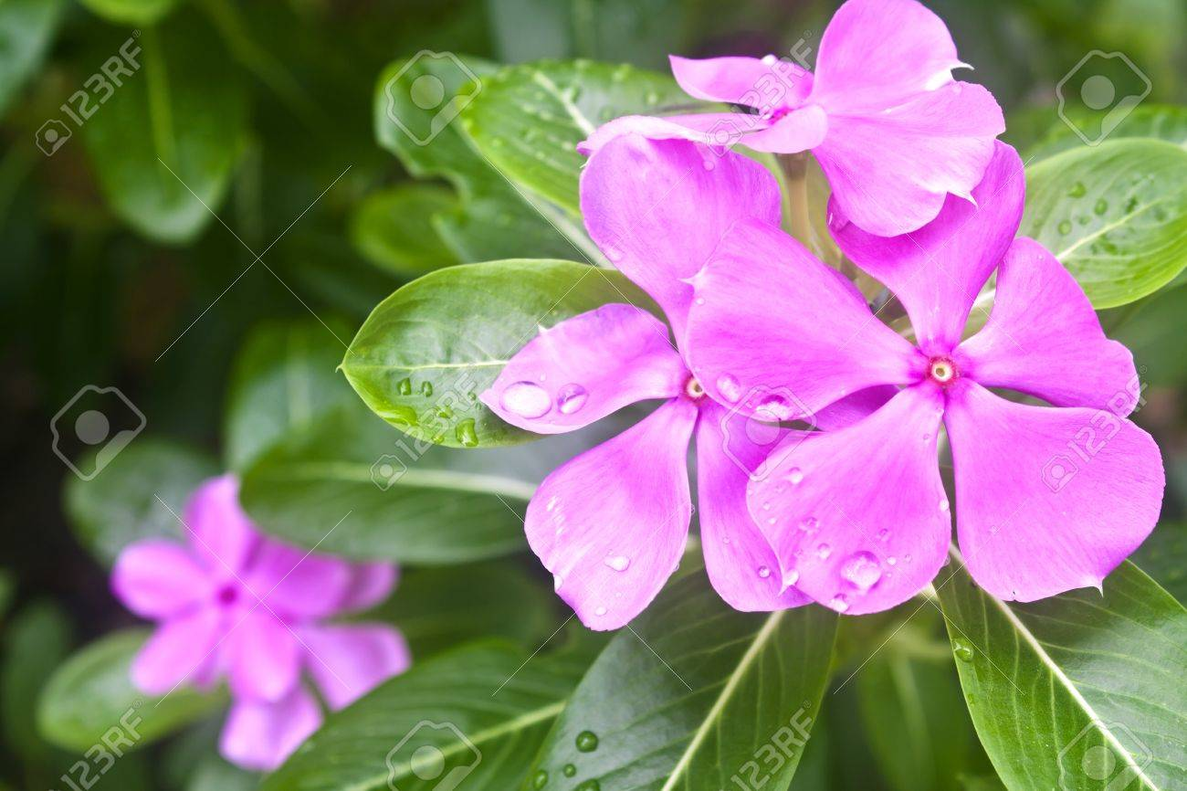 purple vinca flowers stock photo picture and royalty free image