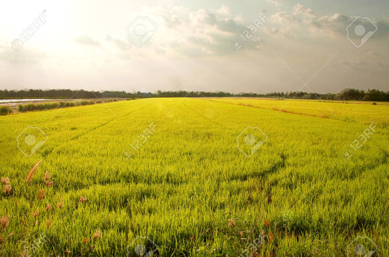 Rice fields in Thailand's capital. Stock Photo - 19742224