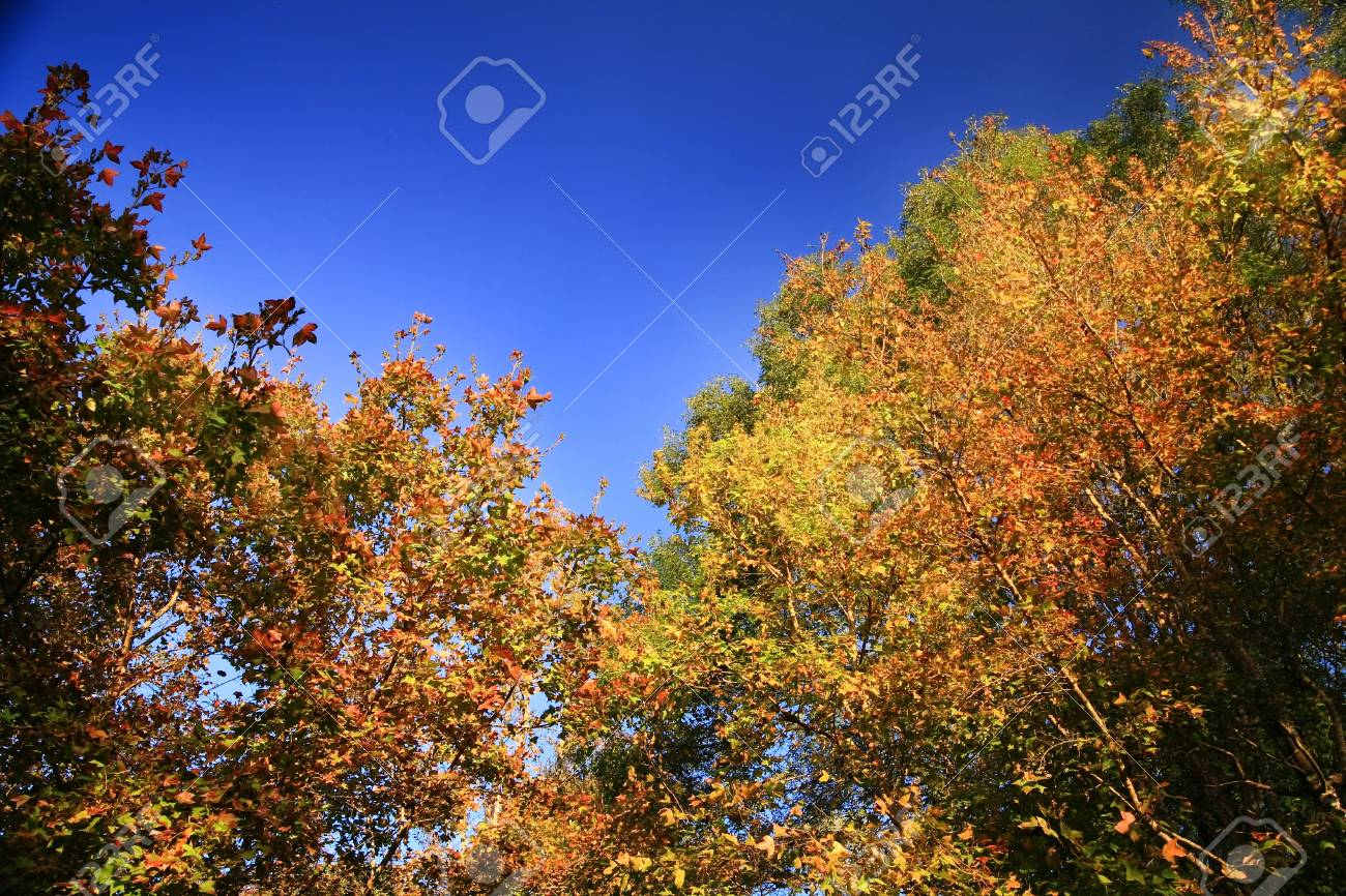 Many maple trees with the blue of the sky Stock Photo - 19742249
