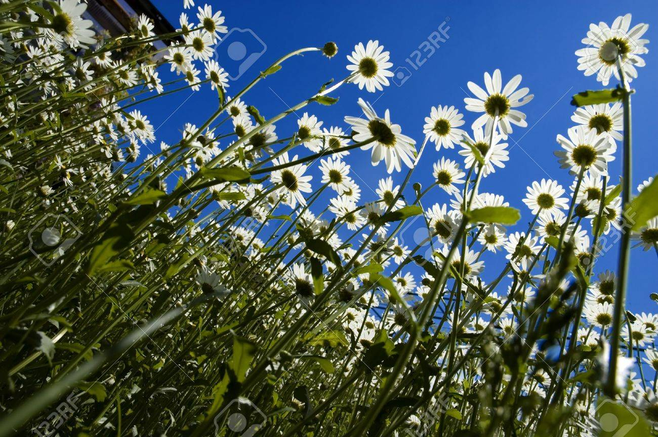 white daisy flowers looking in to blue sky Stock Photo - 913952