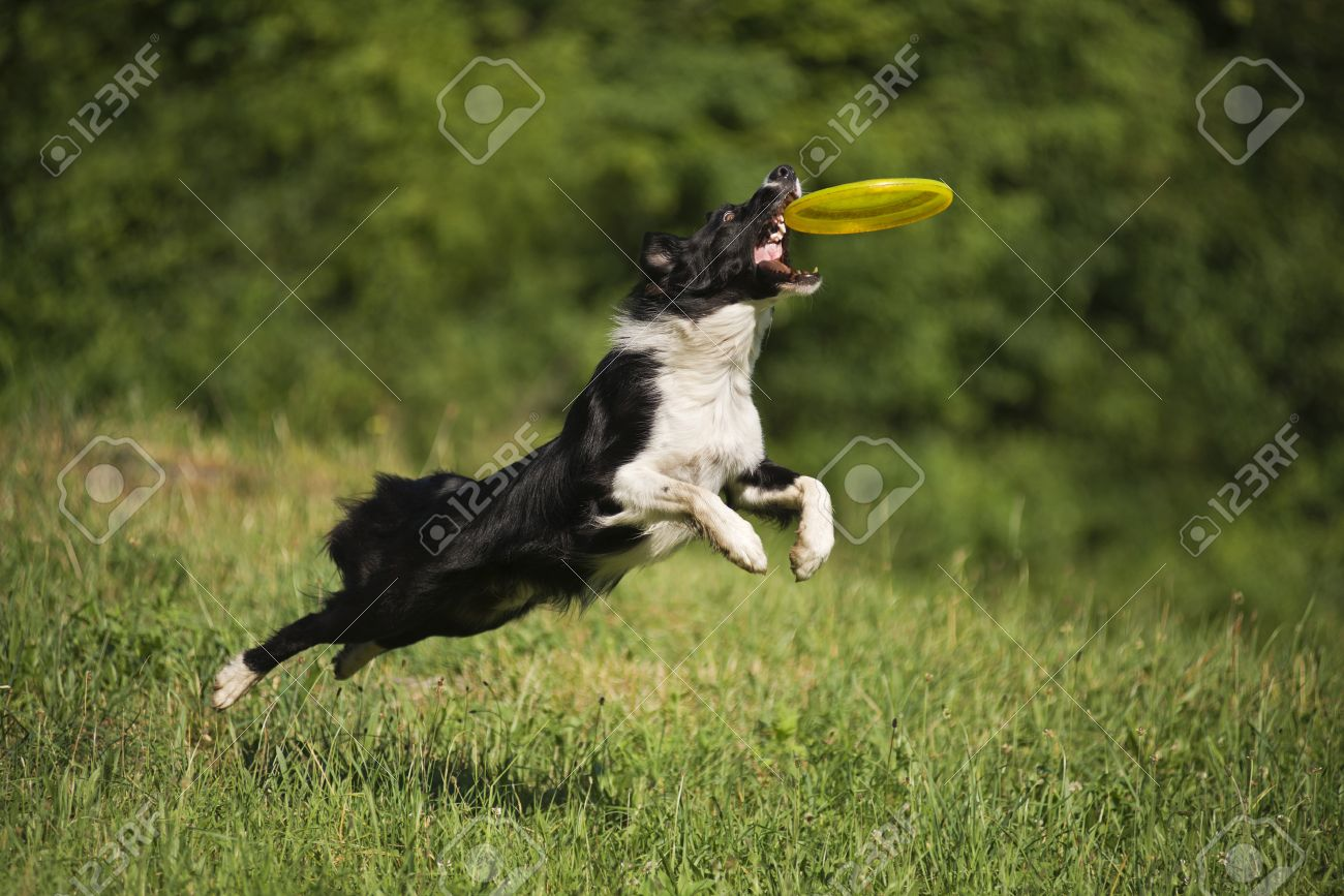 Dog Agility: Border Collie Dog Catching The Frisbee On The Green Meadow