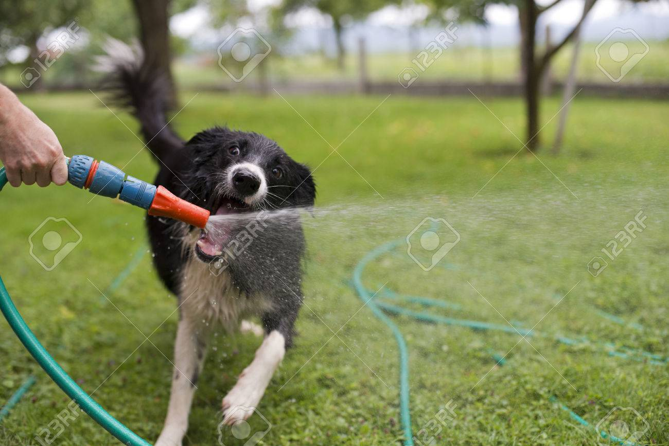 A dog playing with water from a garden hose. - 54346007