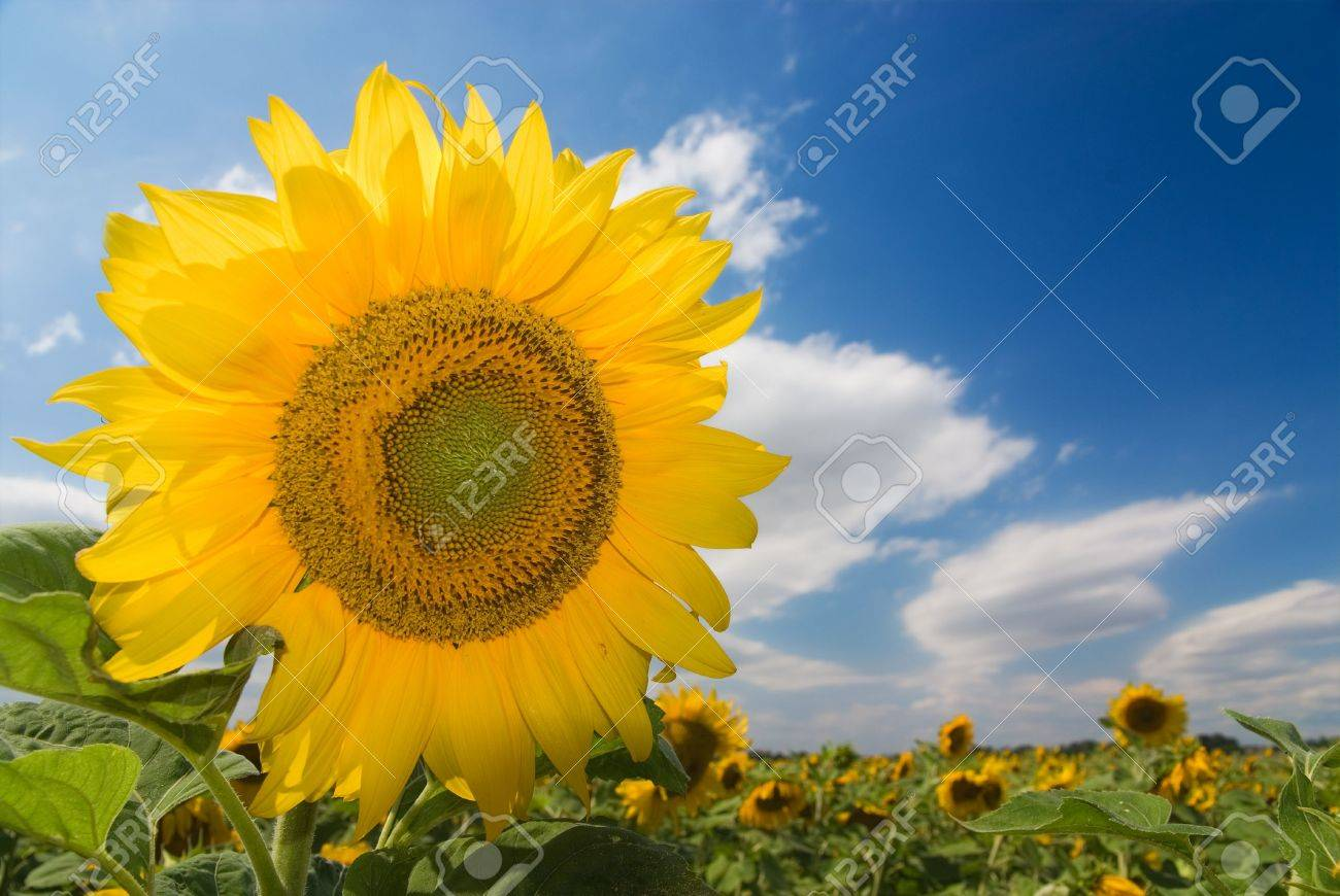 Sunflower field against blue cloudy sky (background, wallpaper) Stock Photo - 1194923