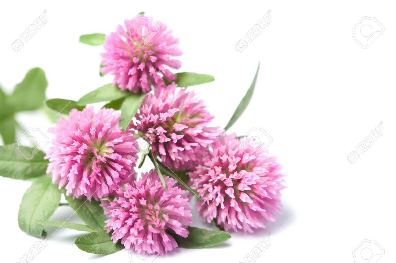 pink clover flowers isolated Stock Photo - 5053604