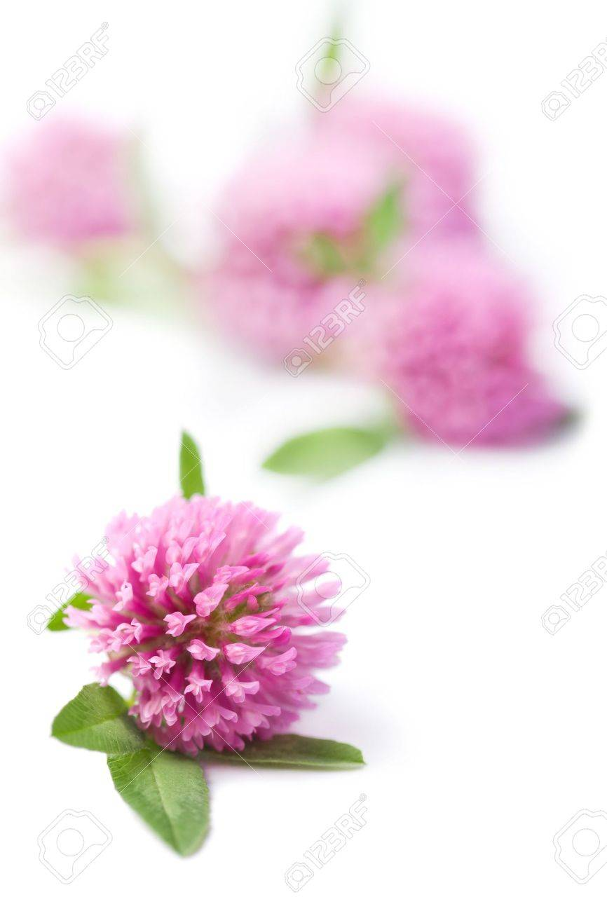 Pink Clover Flowers Isolated Stock Photo Picture And Royalty Free