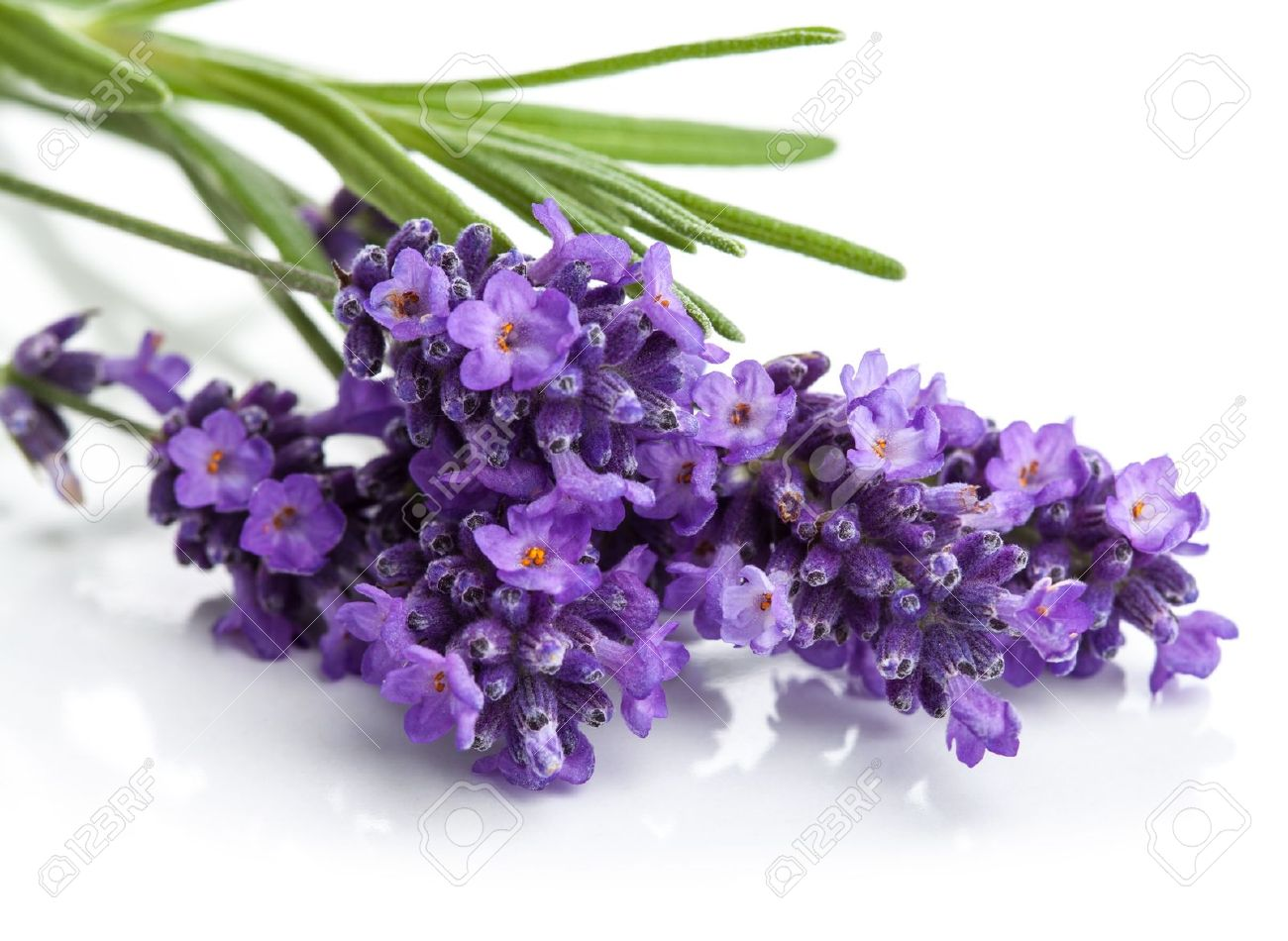 Lavender Flower Isolated Stock Photo Picture And Royalty Free