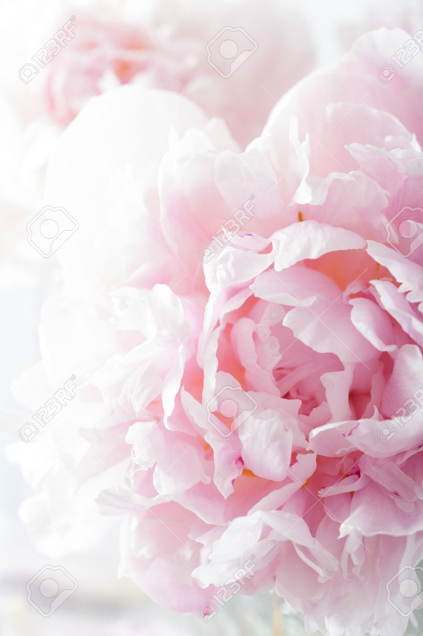 Beautiful Pink Peony Flower Background Stock Photo Picture And