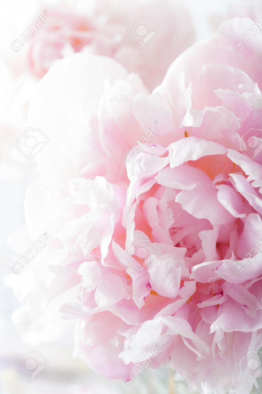 Beautiful pink peony flower background stock photo picture and beautiful pink peony flower background stock photo 39330869 mightylinksfo