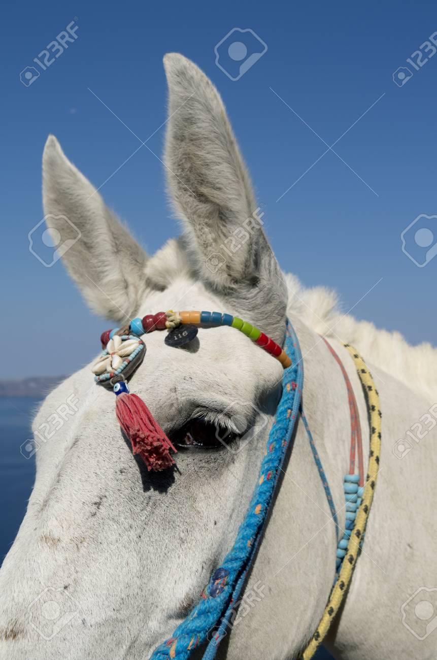 Donkey in Thira on Santorini island in Greece Stock Photo - 22865270