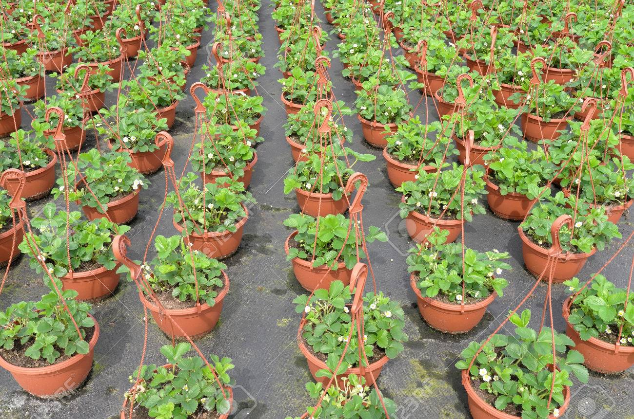 Strawberry Plants At The Wholesale Are Ready To Be Transported ...
