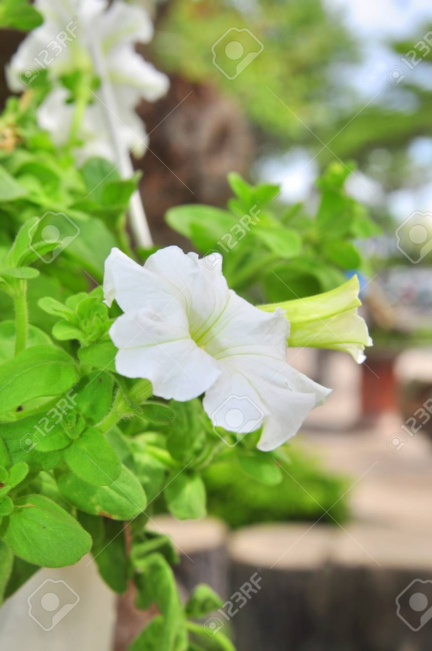 White Petunia Flower Stock Photo Picture And Royalty Free Image