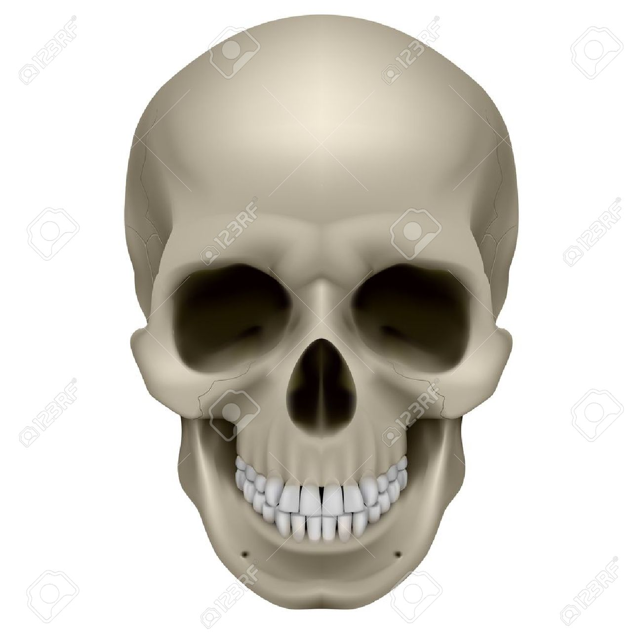 Human skull, front view. Digital illustration on white Stock Vector - 13329163