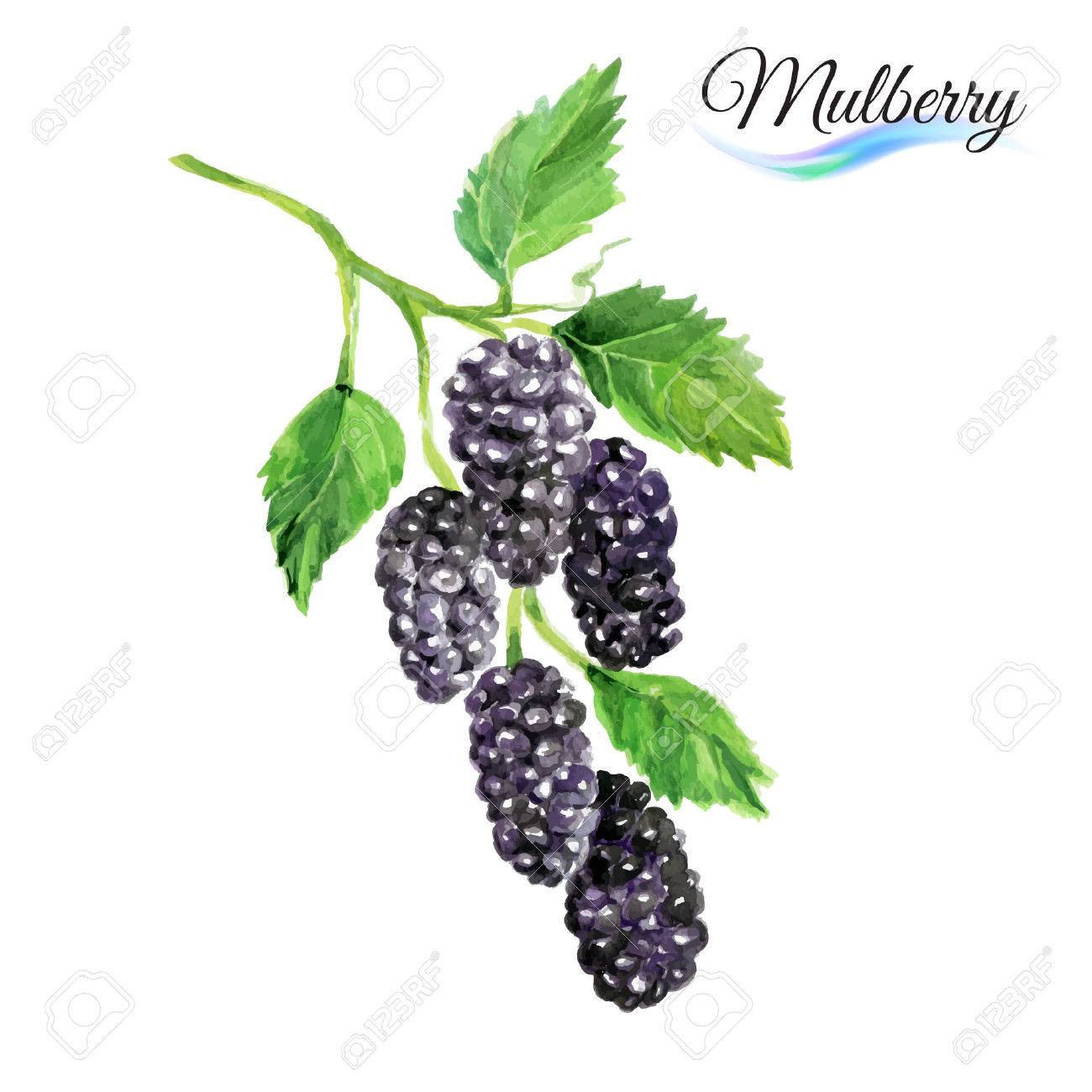 Watercolor fruit mulberry isolated on white background Stock Vector - 41609301
