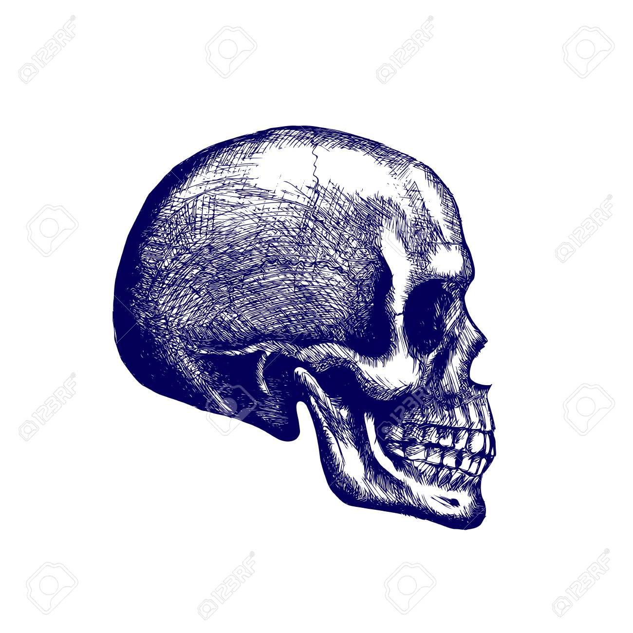 Skull Of A Human In Profile Hand Drawing Anatomy Skull With