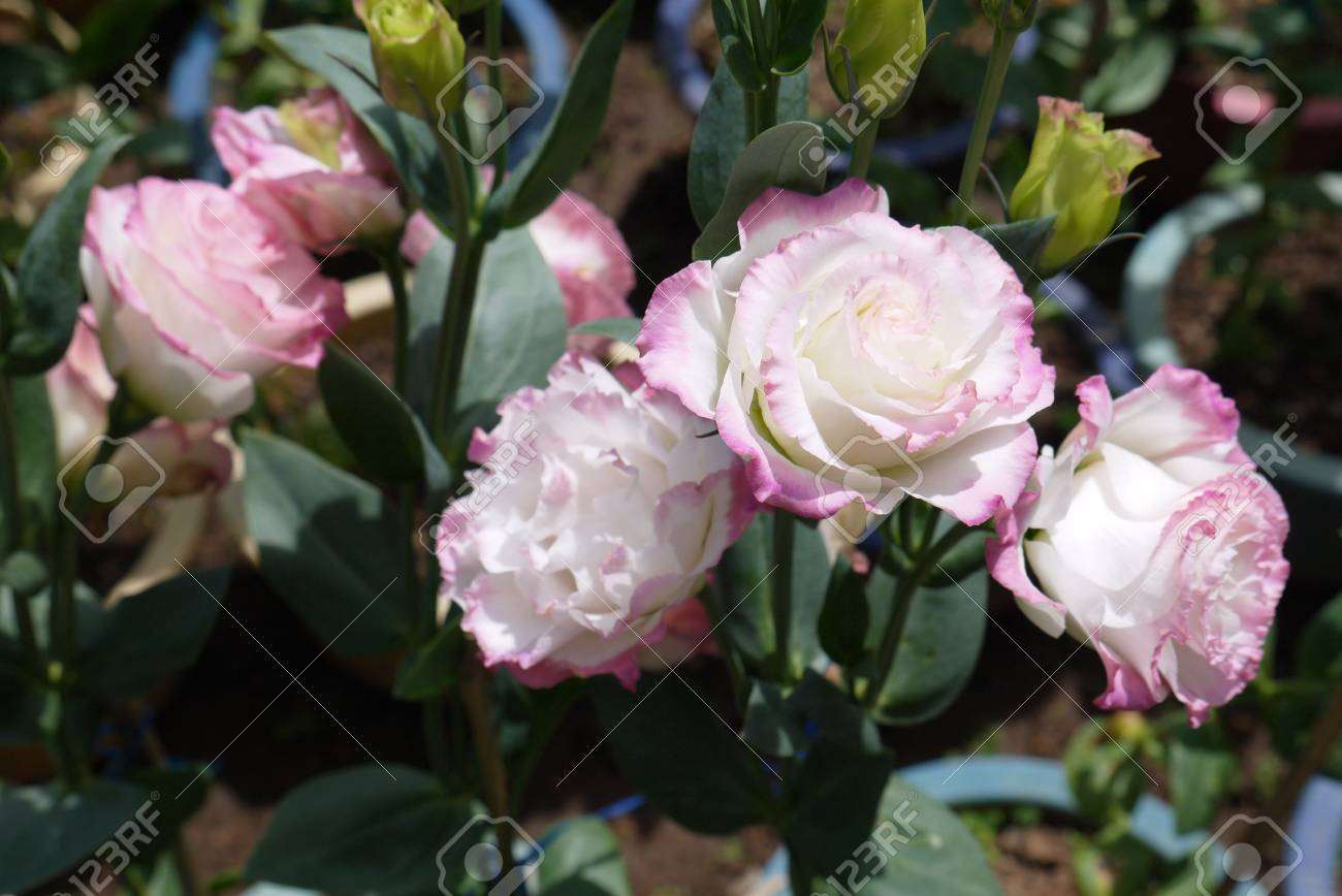 White roses with a pink border at the edges of petals stock photo stock photo white roses with a pink border at the edges of petals mightylinksfo