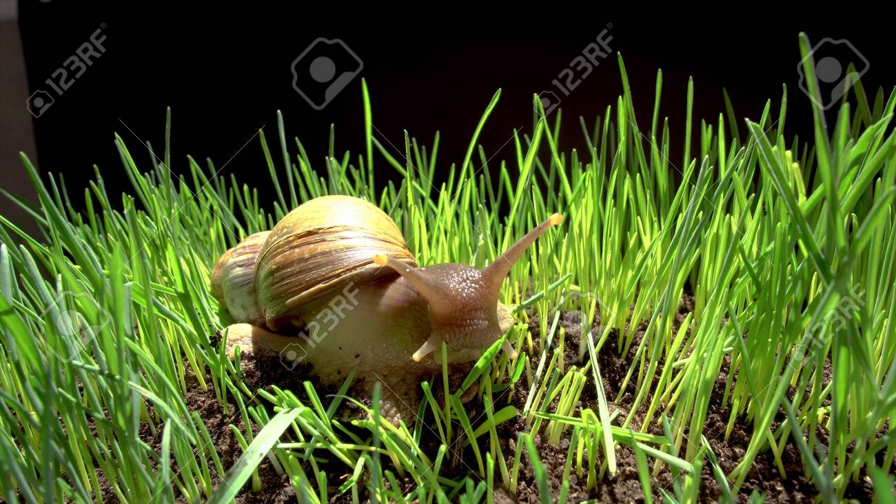 A Large Domestic Snail Crawls On Tall Grass In A Terrarium Stock Photo Picture And Royalty Free Image Image 134645110