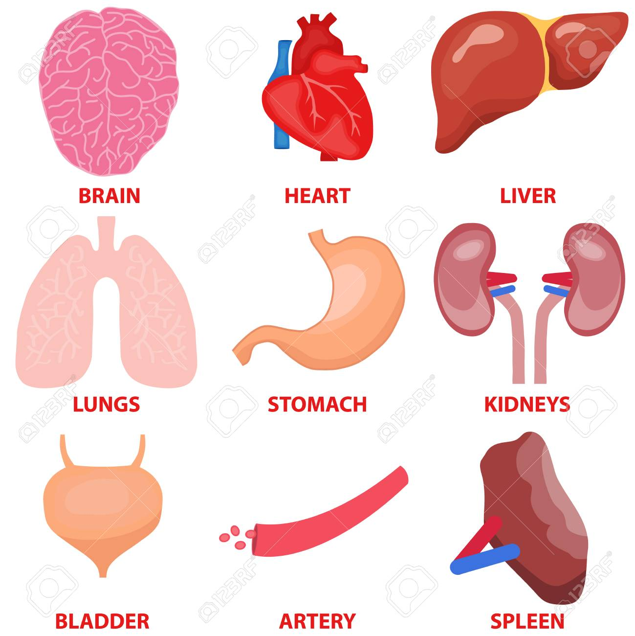Human organs a set of internal organs of man heart liver human organs a set of internal organs of man heart liver brain ccuart Images