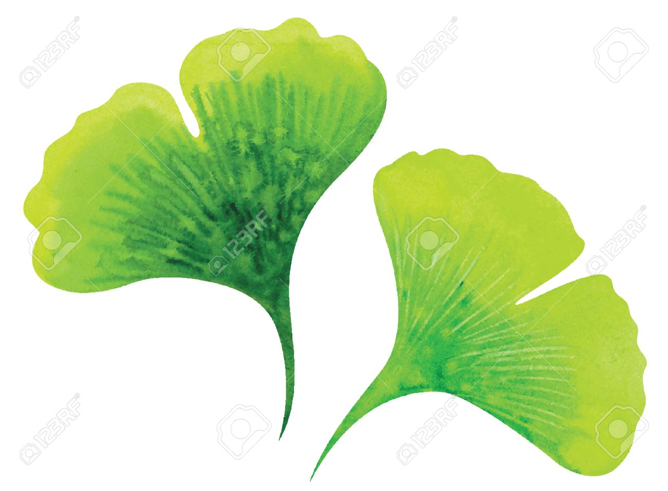 ginkgo leaves watercolor vector illustration royalty free cliparts