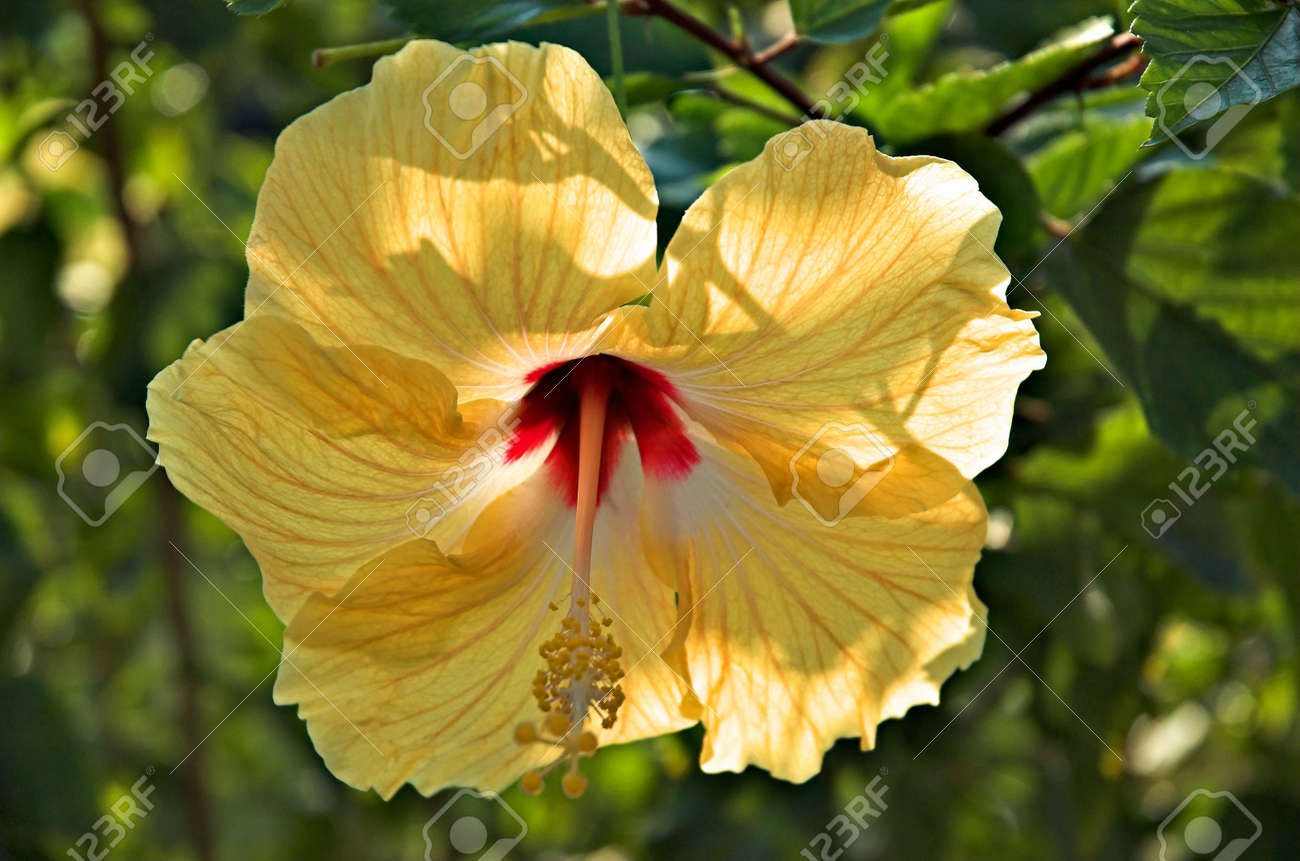 Gold hibiscus flower in the hawaiian jungle stock photo picture and gold hibiscus flower in the hawaiian jungle stock photo 329914 izmirmasajfo Gallery