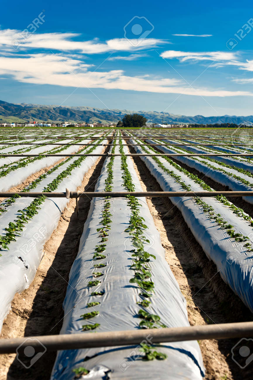 Irrigation pipes placed across rows of strawberry plants Stock Photo - 12337827
